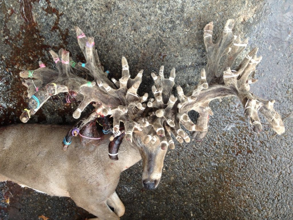 100 Point Buck Scoring Over 600 Gross The Hunting Game