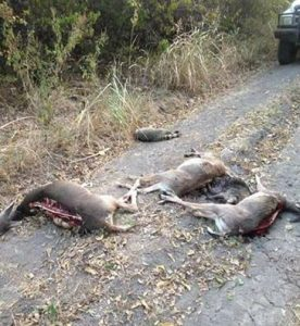 Lamar County deer with backstrap removed *posted to Facebook